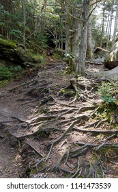 A gnarly carpet of tree roots covers the ground of a high elevation mountain forest on Mount Mitchell in western North Carolina, the highest peak of the Appalachian Mountains of eastern North America