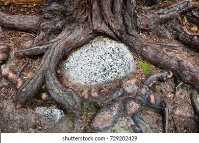 Gnarly exposed tree roots circle a granite rock. Top down view, close up detail. Flat stone surface is suitable for copy space. Concept for nature themed invitation or notice.