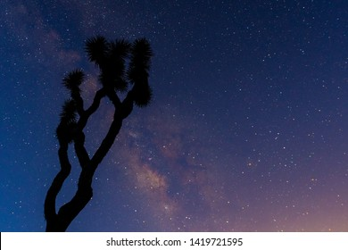A Gnarly Joshua Tree is Silhouetted by the Milk Way in early morning