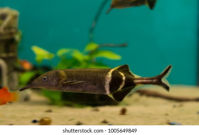 Elephant Nose Fish | Elephantnose Fish Images Stock Photos Vectors Shutterstock