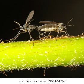 Gnats mating on a plant trunk