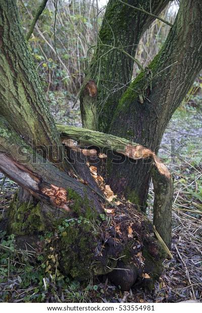 Gnaw tracks of Eurasian beaver (Castor fiber) on willow