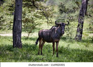 gnu africa wild horn
