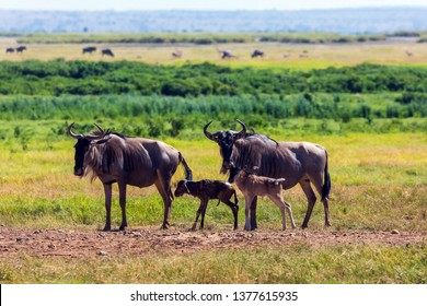 Gnu antelope just gave birth in the savannah. The newborn calf is trying to stand legs. Safari - tour to the famous Amboseli National Park, Kenya. The concept of exotic, ecological and phototourism