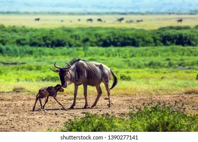 Gnu antelope just gave birth in the savannah. The newborn calf is trying to stand on weak legs. Safari - tour to the famous Amboseli National Park, Kenya. The concept of exotic, ecological and tourism