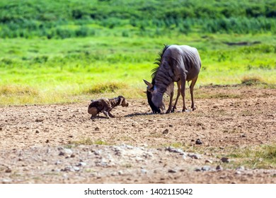 Gnu antelope just gave birth in the savannah. Safari - tour to the famous Kenyan reserve Amboseli National Park, Kenya. The concept of exotic, ecological and phototourism