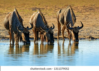 GNU drinking. Blue wildebeest, Connochaetes taurinus, on the meadow, big animal in the nature habitat in Botswana, Africa. Wildebeest near the river. Wildlife behaviour scene from nature.