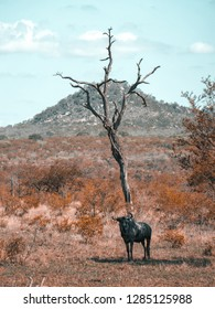 Gnu on Kruger Park,Safari South-Africa