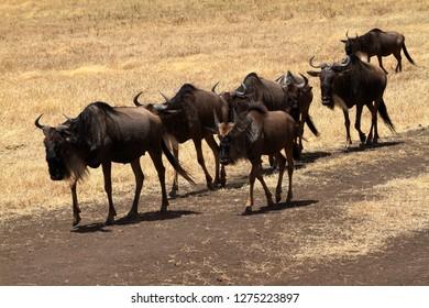 Gnu in the Savannah of the Serengeti in Tanzania