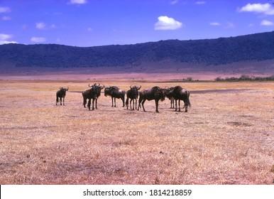 Gnu wildebeest herd grazes on the savannah in the  Ngorongoro Crater, Tanzania