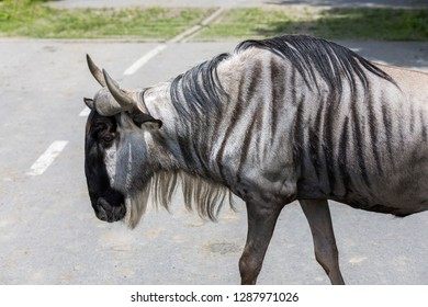 Gnu or Wildebeest, is the largest African antelope. Gnu is closely related to cattle, goats and sheep and it can be found in the plains and woods of Southern and East Africa.