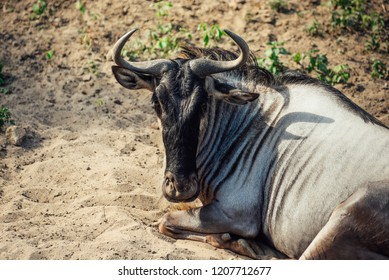 Gnu - wildebeest laying on the sand and looking to the camera.