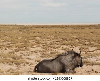 A Gnu/Wildebeest in Etosha NP, Namibia with etosha pan behind.