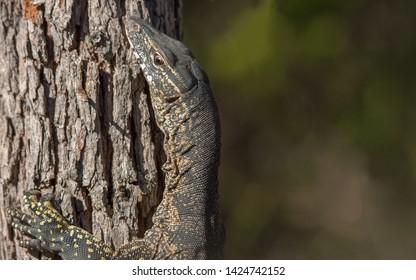 Goanna climbing a tree in the Royal National park Sydney Australia