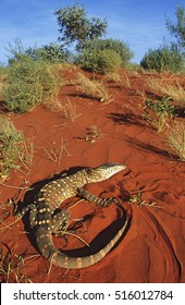 Goanna in desert