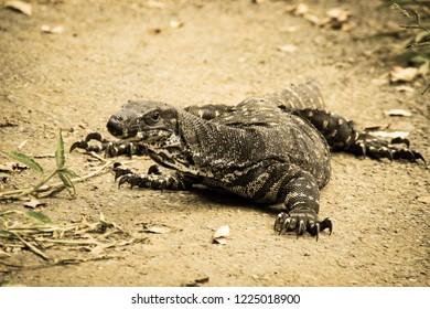 Goanna lizard in Australia, sepia