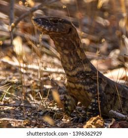 Goanna, Lizard Made in Australia