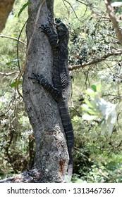 Goanna (monitor lizard) climbing a tree