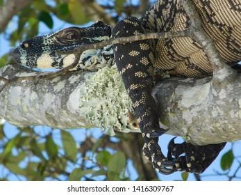 Goanna Monitor Lizard Eastern Australia