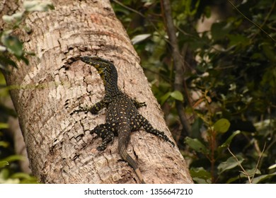 A goanna (monitor) in North Queensland, halting it's ascent up a fallen tree, to turn and look behind at what that noise was.