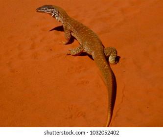 Goanna on orange sand, Dampier Peninsula