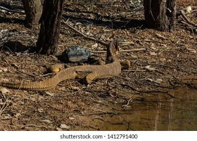 Goanna in outback Queensland, Australia