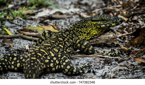 Goanna in the rain forests of Whitsunday