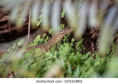 Goanna sneaking in between plants at bottom of Dales Gorge at Karijini National Park Australia