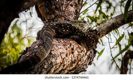 Goanna in tree