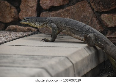 A goanna walking up a step with a rock wall in the background.