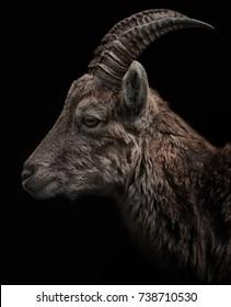 goat,