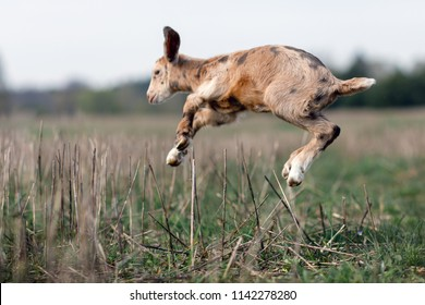 Goat acrobatic leap in the meadow