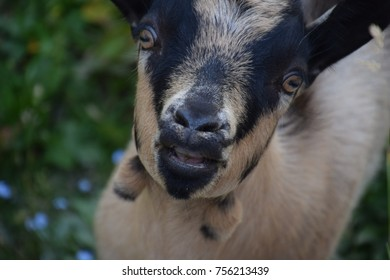 Goat in the Alps