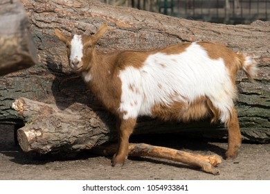Goat in an animal park