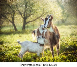 goat with a baby goat in a bright morning sun surrounded by spring greenery. Goat loves looking at his child
