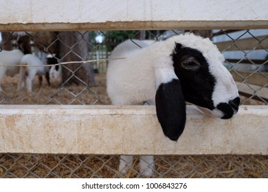 Goat baby in the cage