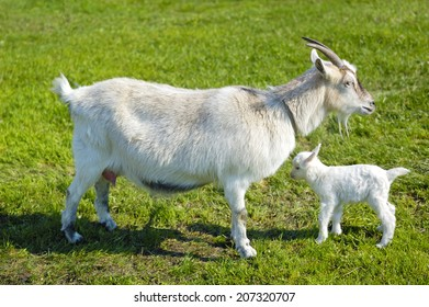 goat and baby goat in pasture