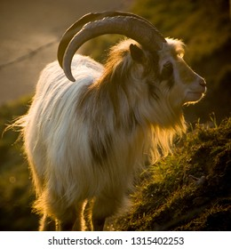 A goat is backlit by the setting sun on the slopes of Brean Down in Somerset's Mendip Hills.