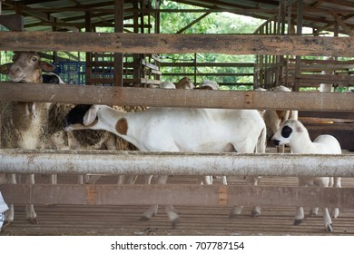 Goat in the barn.