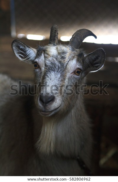 Goat in a barn.Farm. Animal in rural place