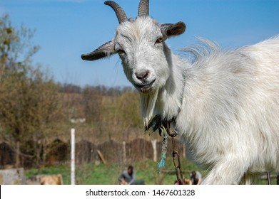 Goat in the barnyard against sky