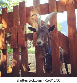 goat with big horns stuck in wooden gate