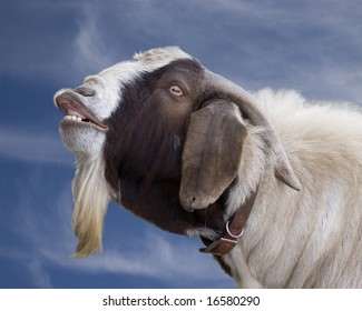 goat braying or smiling