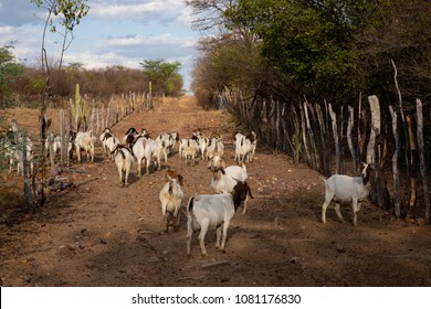 Goat breeding in the Caatinga, exclusive vegetation of the northeastern sertão, in Afogados da Ingazeira, Pernambuco, Brazil. In the background vegetation of caatinga, blue sky, with clouds.