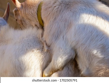 Goat breeding. Love couple. Reproduction season-spring rutting. Courtship and copula in cloven-hoofed animals. The farming of livestock.