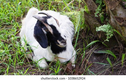 Goat breeds of meat is resting in oil palm plantation in Thailand