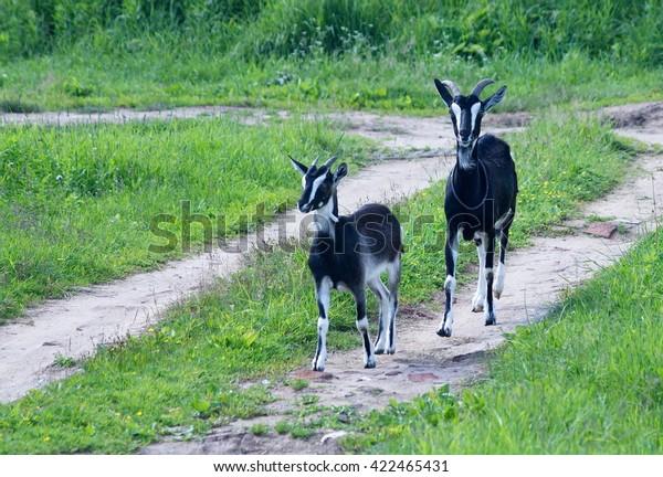 Goat British Alpine Breed Kid Stock Photo (Edit Now) 422465431