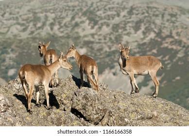 Goat Montés Ibérica, Capra pyrenaica, Iberian Ibex, Spain, on top of the rock, group