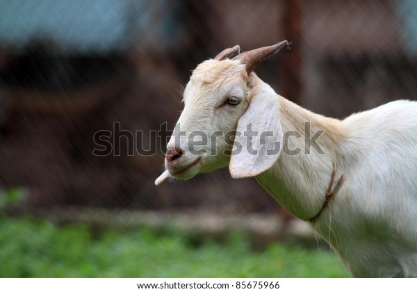 goat in the cattle farm