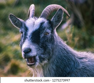 A goat chewing food and looking at the camera   location; Namskogan, Norway